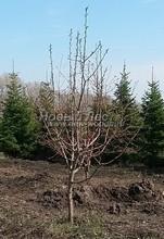 Плодовые крупномеры в наличии: Яблоня домашняя сортовая - PcPn-001-0003