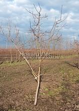 Плодовые крупномеры в наличии: Яблоня домашняя сортовая - PcPn-001-0004