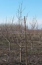 Плодовые крупномеры в наличии: Яблоня домашняя сортовая - PcPn-001-0005