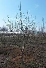 Плодовые крупномеры в наличии: Яблоня домашняя сортовая - PcPn-001-0006