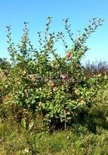 Плодовые крупномеры в наличии: Яблоня домашняя сортовая - PcPn-001-0007