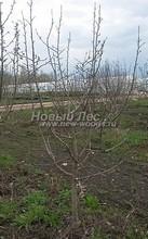 Плодовые крупномеры в наличии: Яблоня домашняя сортовая - PcPn-001-0008