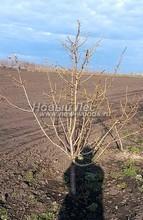 Плодовые крупномеры в наличии: Яблоня домашняя сортовая - PcPn-001-0009