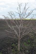 Плодовые крупномеры в наличии: Груша обыкновенная сортовая - PcPn-001-0013