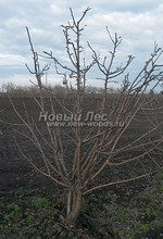 Плодовые крупномеры в наличии: Груша обыкновенная сортовая - PcPn-001-0014