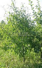 Плодовые крупномеры в наличии: Груша обыкновенная сортовая - PcPn-001-0015