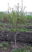 Плодовые крупномеры Черешня (Prunus avium) в наличии