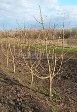Плодовые крупномеры в наличии: Яблоня домашняя сортовая - PcPn-001-0019