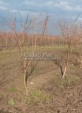 Плодовые крупномеры в наличии: Яблоня домашняя сортовая - PcPn-001-0020