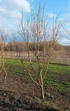 Плодовые крупномеры в наличии: Яблоня домашняя сортовая - PcPn-001-0021
