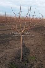 Плодовые крупномеры в наличии: Яблоня домашняя сортовая - PcPn-001-0022