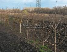 Плодовые крупномеры в наличии: Яблоня домашняя сортовая - PcPn-001-0023