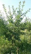 Плодовые крупномеры в наличии: Яблоня домашняя сортовая - PcPn-001-0024
