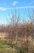 Плодовые крупномеры в наличии: Слива домашняя сортовая - PcPn-001-0025