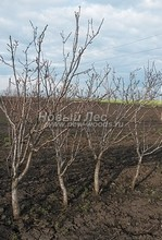Плодовые крупномеры в наличии: Груша обыкновенная сортовая - PcPn-001-0028