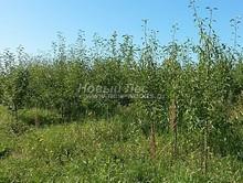 Плодовые крупномеры в наличии: Груша обыкновенная сортовая - PcPn-001-0029