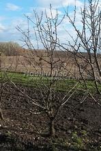 Плодовые крупномеры в наличии: Груша обыкновенная сортовая - PcPn-001-0030