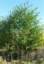Плодовые крупномеры в наличии: Черешня сортовая - PcPn-001-0031