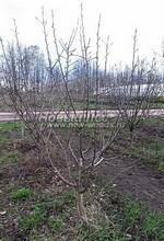 Плодовые крупномеры в наличии: Яблоня домашняя сортовая - PcPn-001-0034