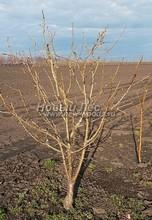 Плодовые крупномеры в наличии: Яблоня домашняя сортовая - PcPn-001-0035