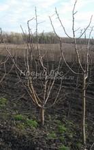 Плодовые крупномеры в наличии: Яблоня домашняя сортовая - PcPn-001-0036