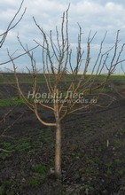 Плодовые крупномеры в наличии: Яблоня домашняя сортовая - PcPn-001-0037