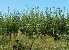 Плодовые крупномеры в наличии: Яблоня домашняя сортовая - PcPn-001-0038