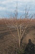 Плодовые крупномеры в наличии: Яблоня домашняя сортовая - PcPn-001-0039