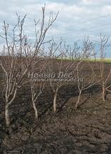 Плодовые крупномеры в наличии: Груша обыкновенная сортовая - PcPn-001-0044