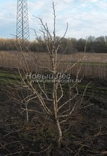 Плодовые крупномеры в наличии: Груша обыкновенная сортовая - PcPn-001-0045