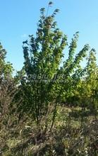 Плодовые крупномеры в наличии: Черешня сортовая - PcPn-001-0046