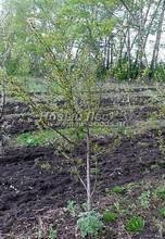 Плодовые крупномеры в наличии: Черешня сортовая - PcPn-001-0047