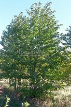 Плодовые крупномеры в наличии: Черешня сортовая - PcPn-001-0048