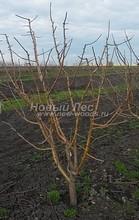 Плодовые крупномеры в наличии: Яблоня домашняя сортовая - PcPn-001-0049