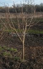 Плодовые крупномеры в наличии: Яблоня домашняя сортовая - PcPn-001-0050