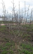 Плодовые крупномеры в наличии: Яблоня домашняя сортовая - PcPn-001-0051