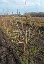 Плодовые крупномеры в наличии: Яблоня домашняя сортовая - PcPn-001-0052