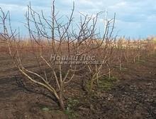 Плодовые крупномеры в наличии: Яблоня домашняя сортовая - PcPn-001-0053