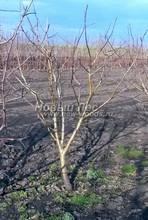 Плодовые крупномеры в наличии: Яблоня домашняя сортовая - PcPn-001-0054