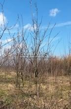 Плодовые крупномеры в наличии: Слива домашняя сортовая - PcPn-001-0055