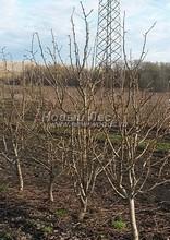 Плодовые крупномеры в наличии: Груша обыкновенная сортовая - PcPn-001-0059