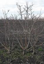 Плодовые крупномеры в наличии: Груша обыкновенная сортовая - PcPn-001-0060