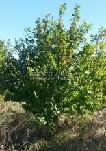 Плодовые крупномеры в наличии: Черешня сортовая - PcPn-001-0062