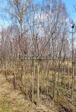 Плодовые крупномеры в наличии: Слива домашняя сортовая - PcPn-001-0065