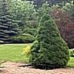 Крупномерные деревья Ели сизой (канадской) Коника