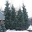 Крупномерные деревья Ели сербской