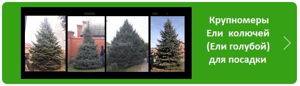 Хвойные крупномеры Ели колючей (Picea pungens), Ели голубой - в наличии для посадки