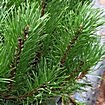 Ветви, хвоя, шишки Сосны горной