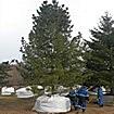 Крупномерные деревья Сибирского кедра (Сосны сибирской кедровой)