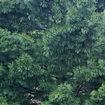 Окраска кроны Сибирского кедра (Сосны сибирской кедровой)